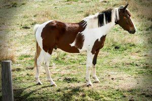 حصان الرسام الأمريكي الوصف ، الصور ، النظام الغذائي ، وحقائق مثيرة للاهتمام
