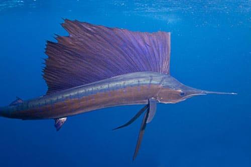 سمكة ابو شراع