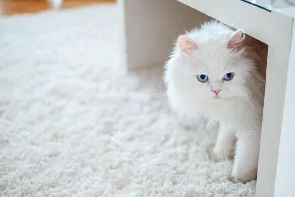 احكام-تربية-القطط
