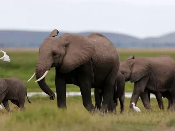 الفيل من أخطر الحيوانات