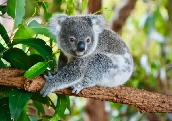 معلومات عن حيوان الكوالا النادر