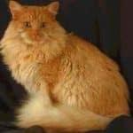 قطط مين كون ، صور ومعلومات عن قط مين كون