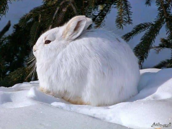 الأرنب القطبي
