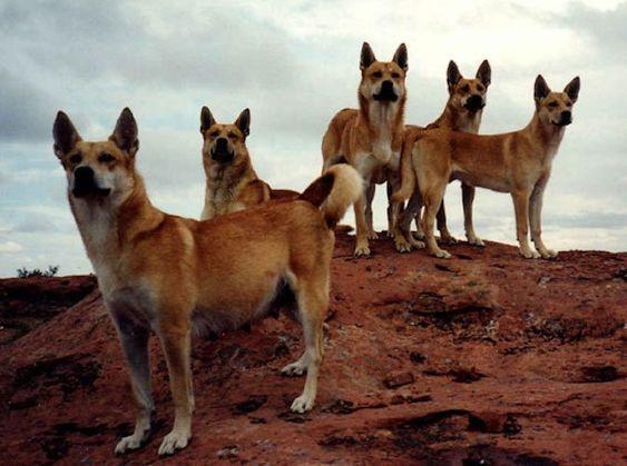 الكلب الاسترالي