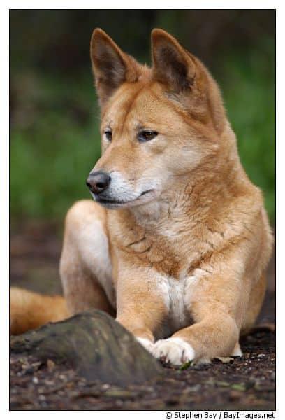 كلب دنغو
