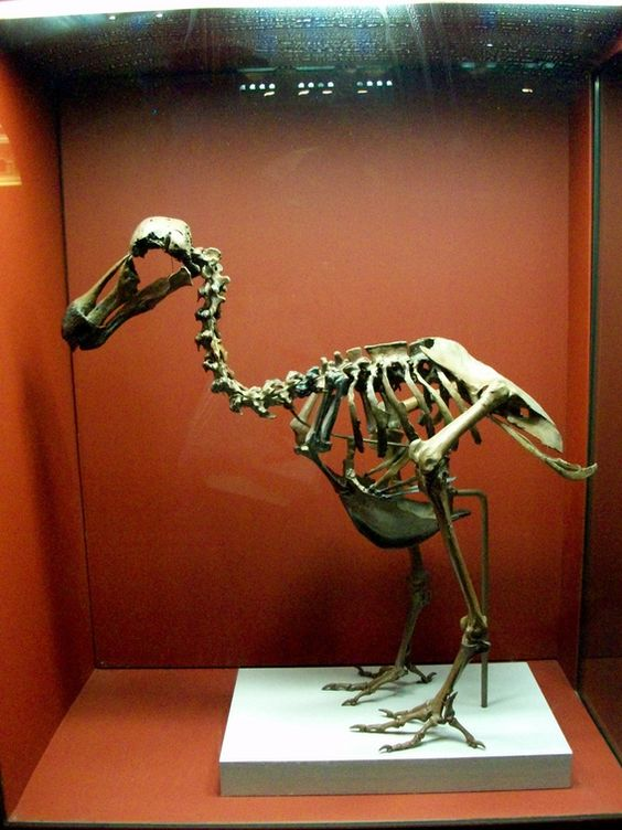 حيوان الدودو