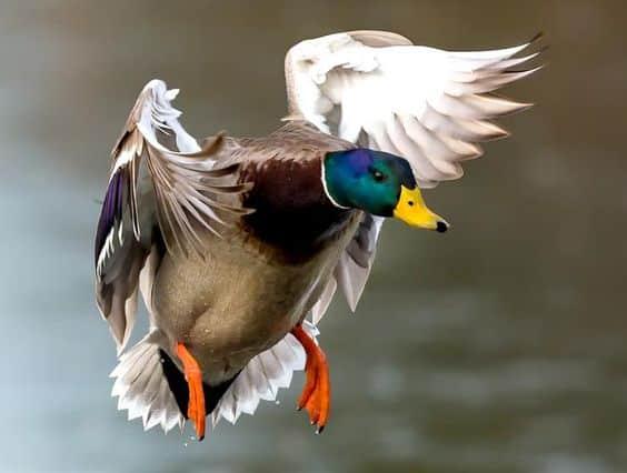 طيور البط