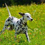 كلب دلماسي
