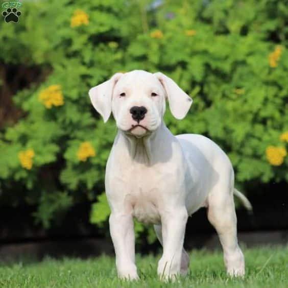 كلب دوجو أرجنتينو