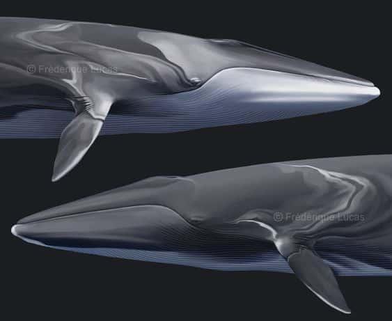 معلومات عن الحوت