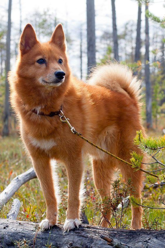 معلومات عن كلب سبيتس