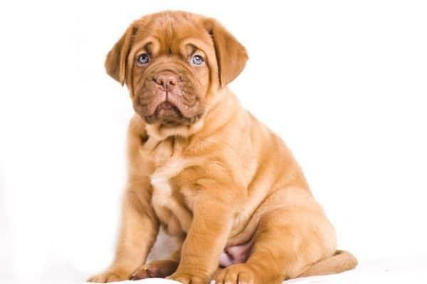 كلب الماستيف الفرنسي