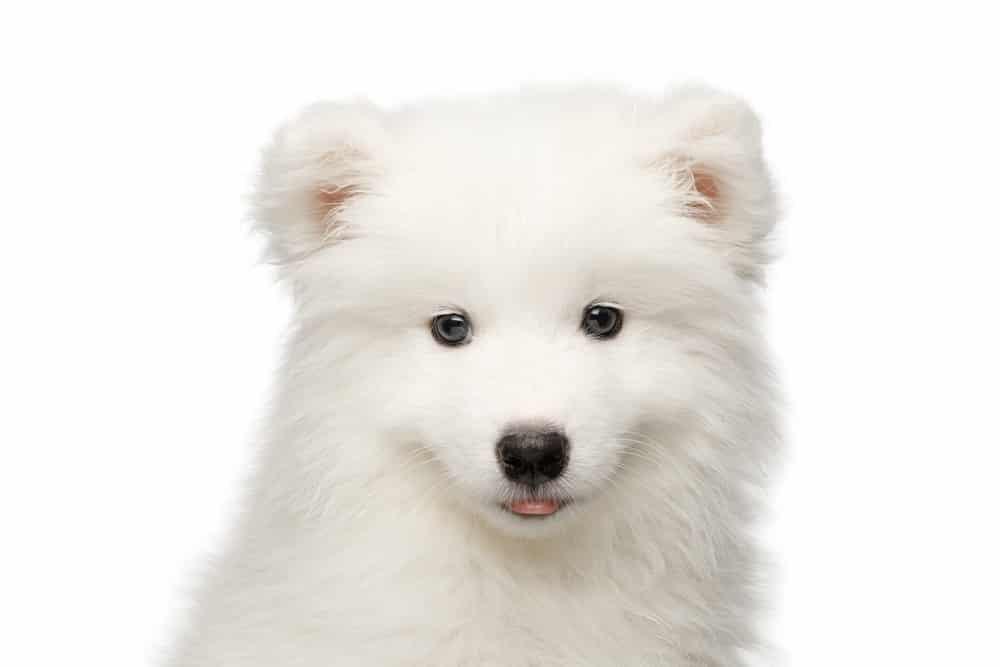 كلب الأسكيمو