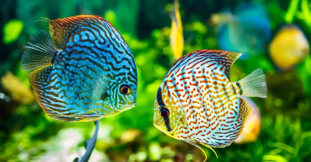 سمكة القرص