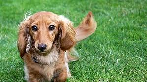 الكلب الألماني داشهند