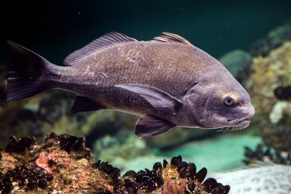 سمكة الطبل