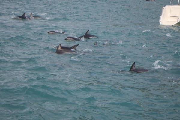 الدلفين داكن البشرة