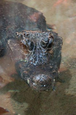 التمساح القزم