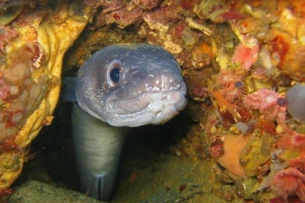 ثعبان البحر
