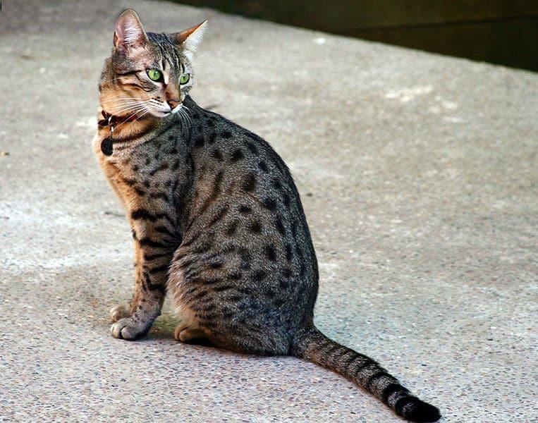 القط المصري