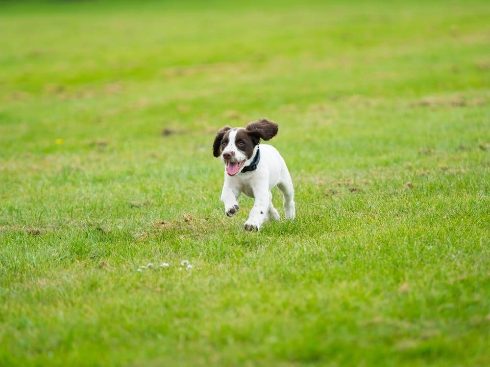 كلب سبرينغر سبانيل الإنجليزي