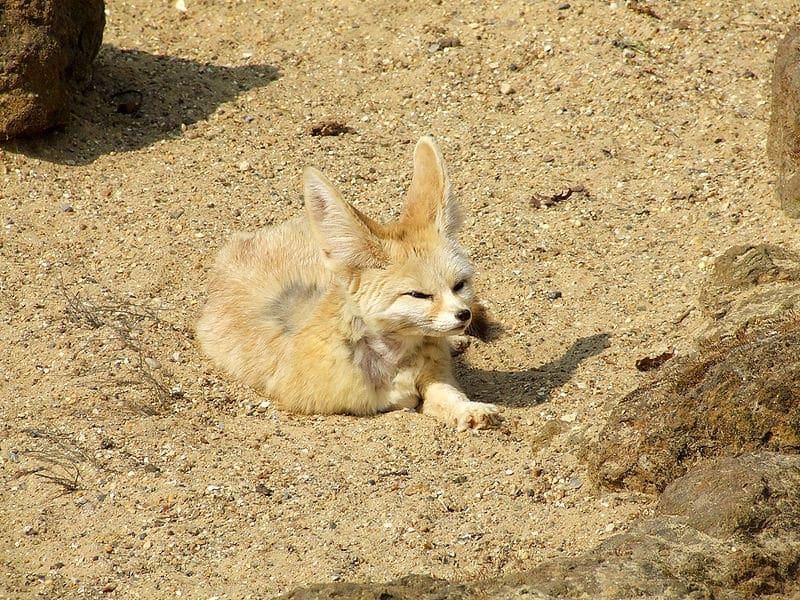 ثعلب الصحراء