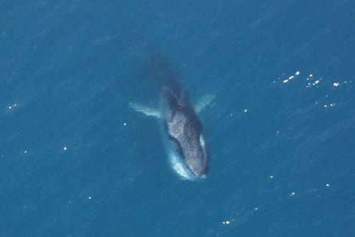 الحوت الزعنفي