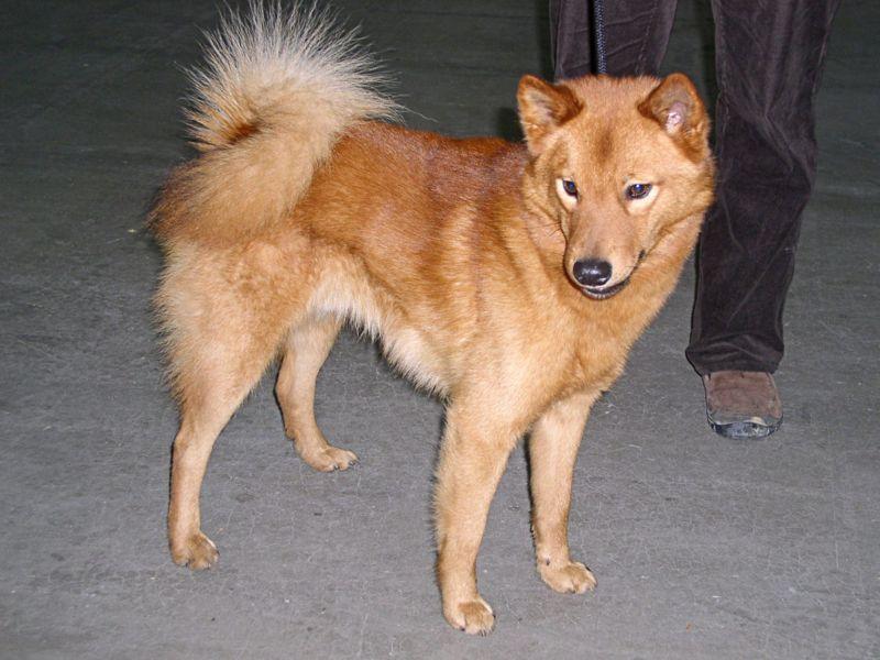 كلب سبيتس الفنلندي