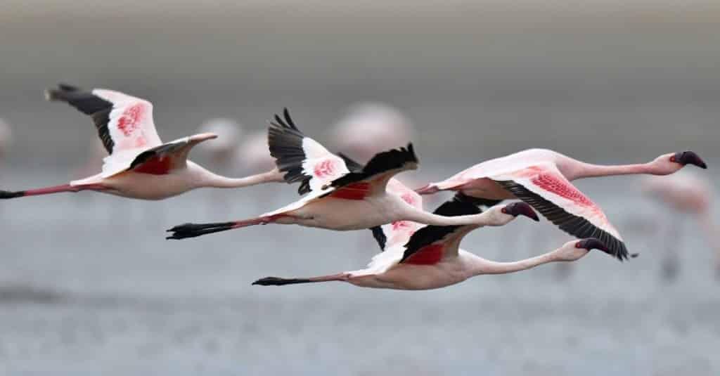 طائر الفلامنغو