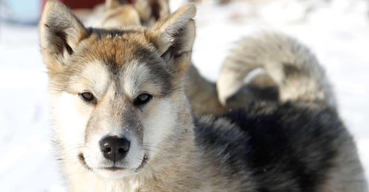 كلب الصيد الجرينلندي
