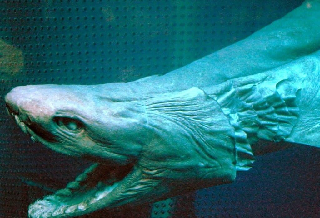 القرش المزركش