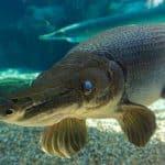 سمكة التمساح غار