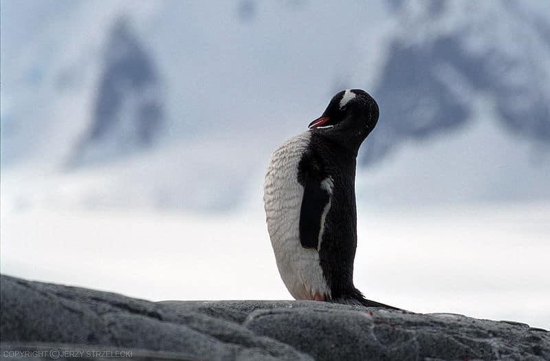 البطريق جنتو