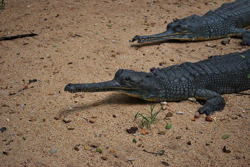 تمساح جافيال