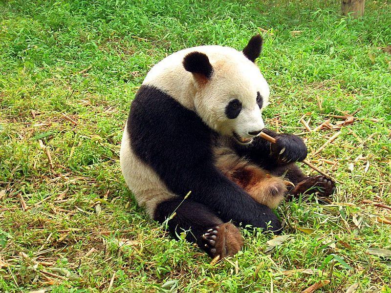 دب الباندا العملاق