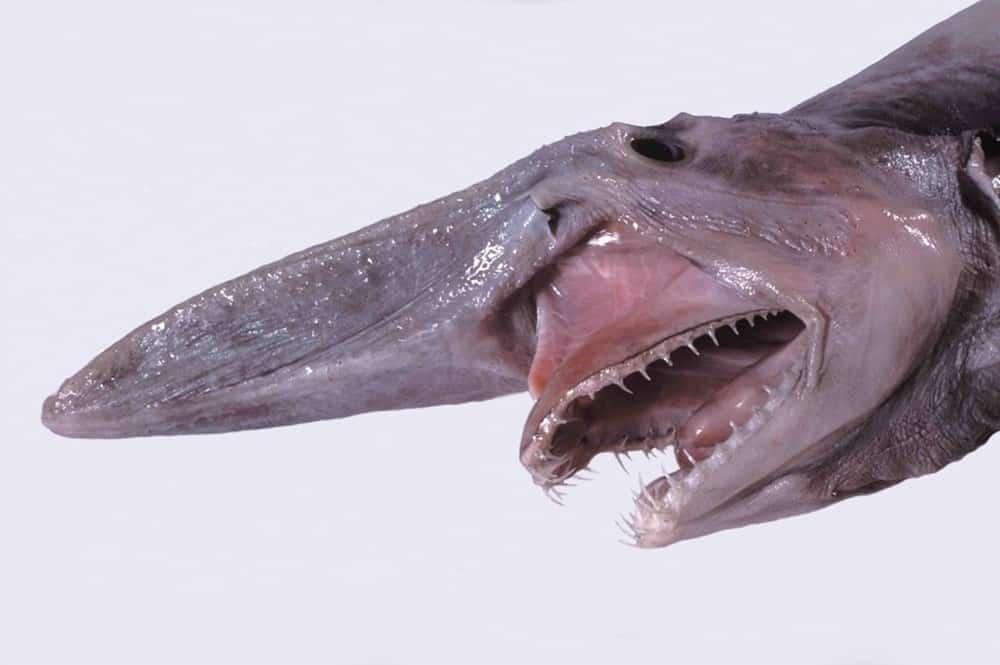 القرش العفريت