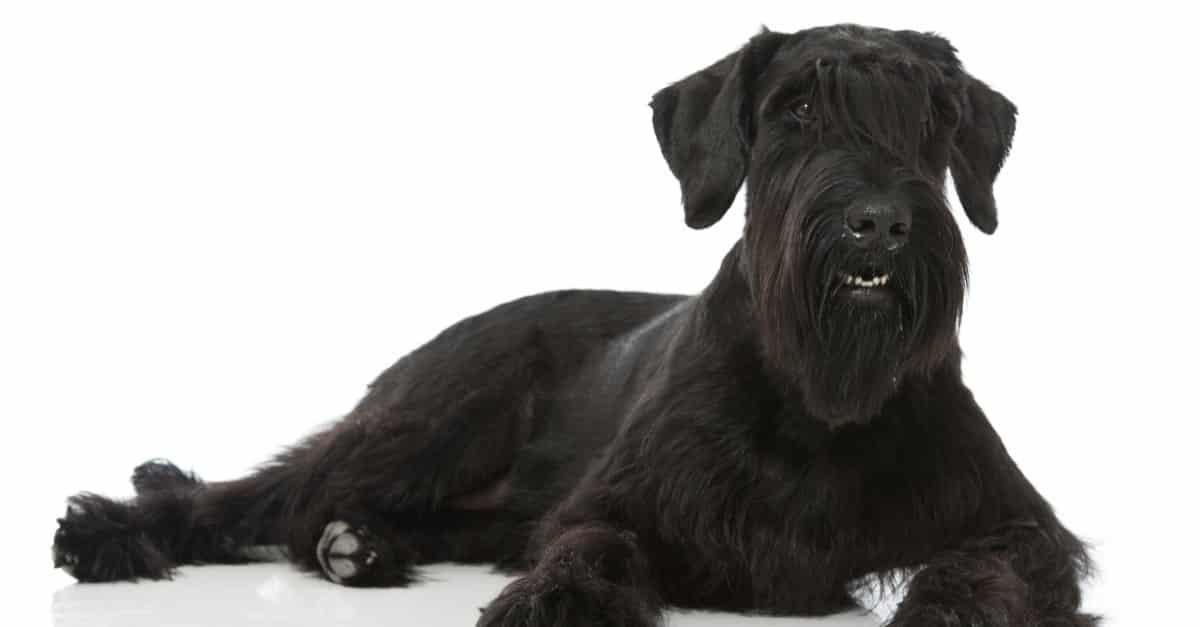 كلب شناوتسر العملاق