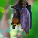 الخفاش الثعلب الطائرذو التاج الذهبي