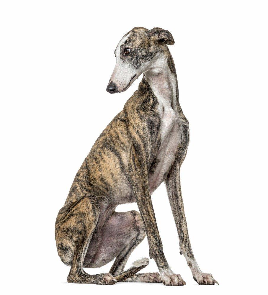الكلب السلوقي الرمادي