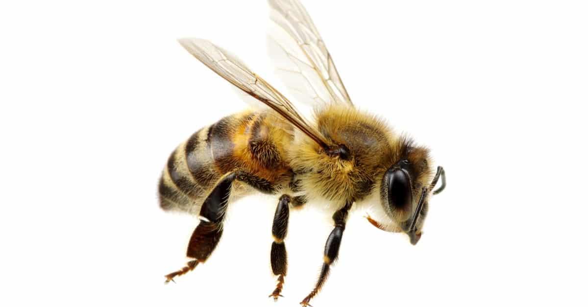 نحل العسل