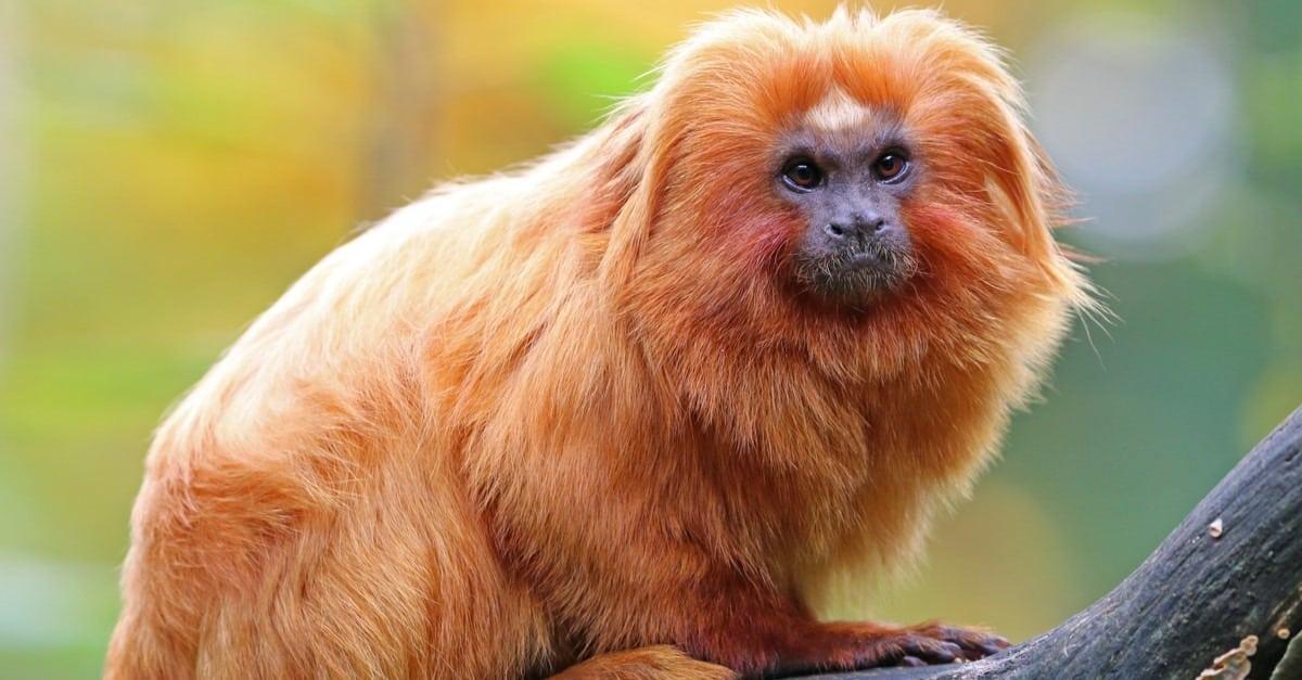 القرد الأسد الذهبي