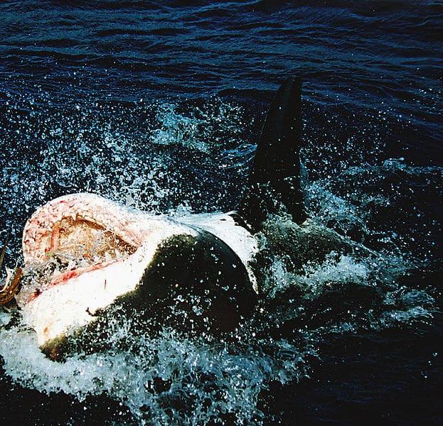 القرش الأبيض الكبير