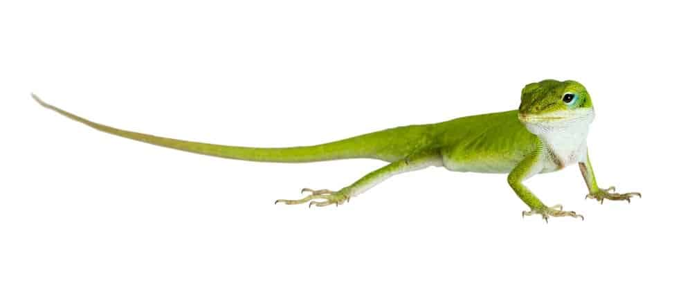 سحلية أنوليسالخضراء