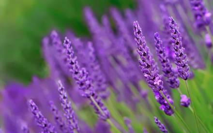 زهور اللافندر تترك خصائص مفيدة للصورة