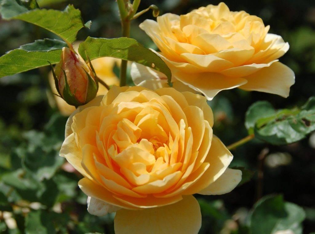 صور وردة بلون الشاي