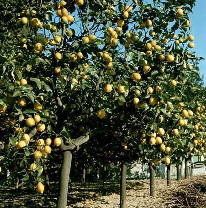 صور مزرعة شجرة الليمون
