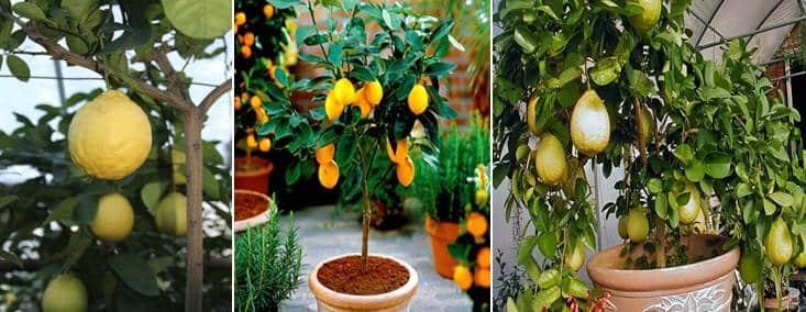 صور أنواع شجرة الليمون