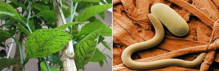آفات شجرة الليمون وصور النيماتودا