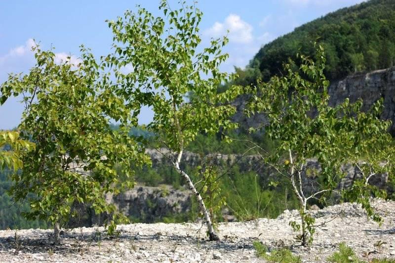 أشجار البتولا القزمية