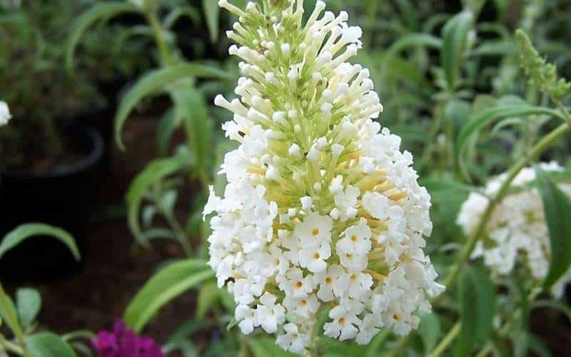 زهرة دافيد الصغيرة الوفرة البيضاء